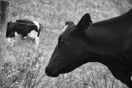 Drake's Beach: Pretty Cow